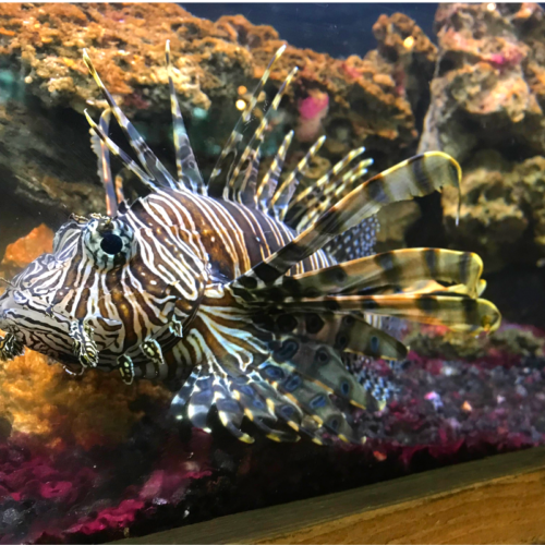 Lionfish in NatureWorks