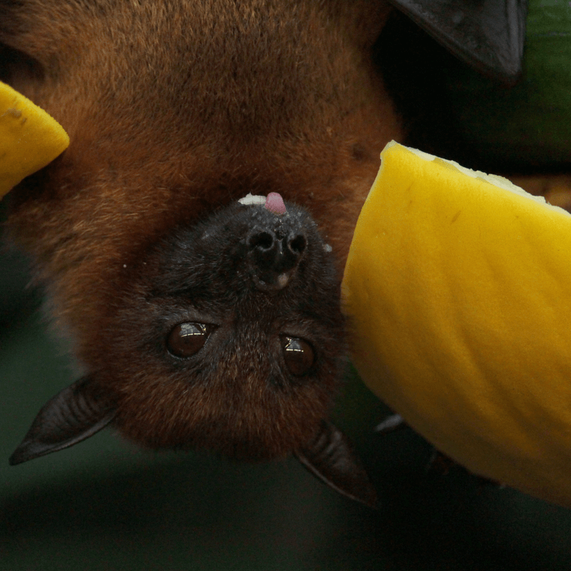 Photo of bat upside down with fruit