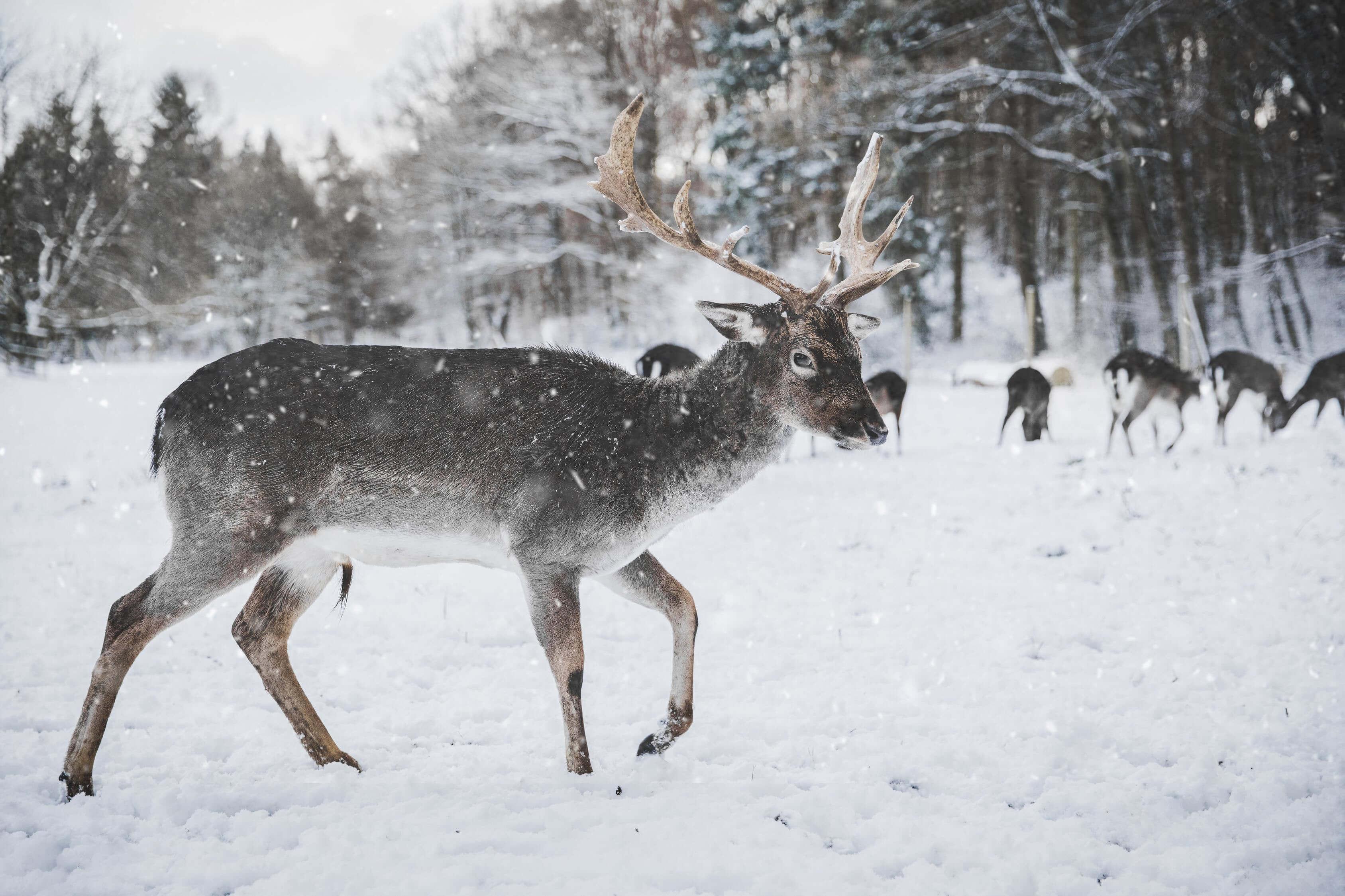 a reindeer in snow