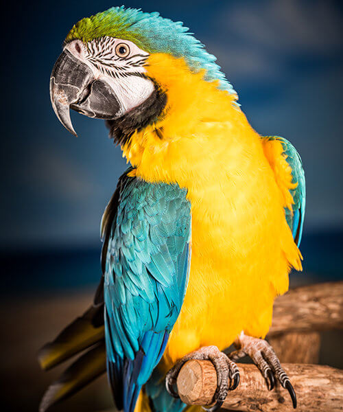 Image of Macaw named Captain in profile