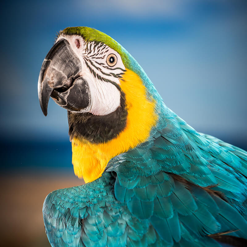 Image of Macaw named Captain looking over shoulder