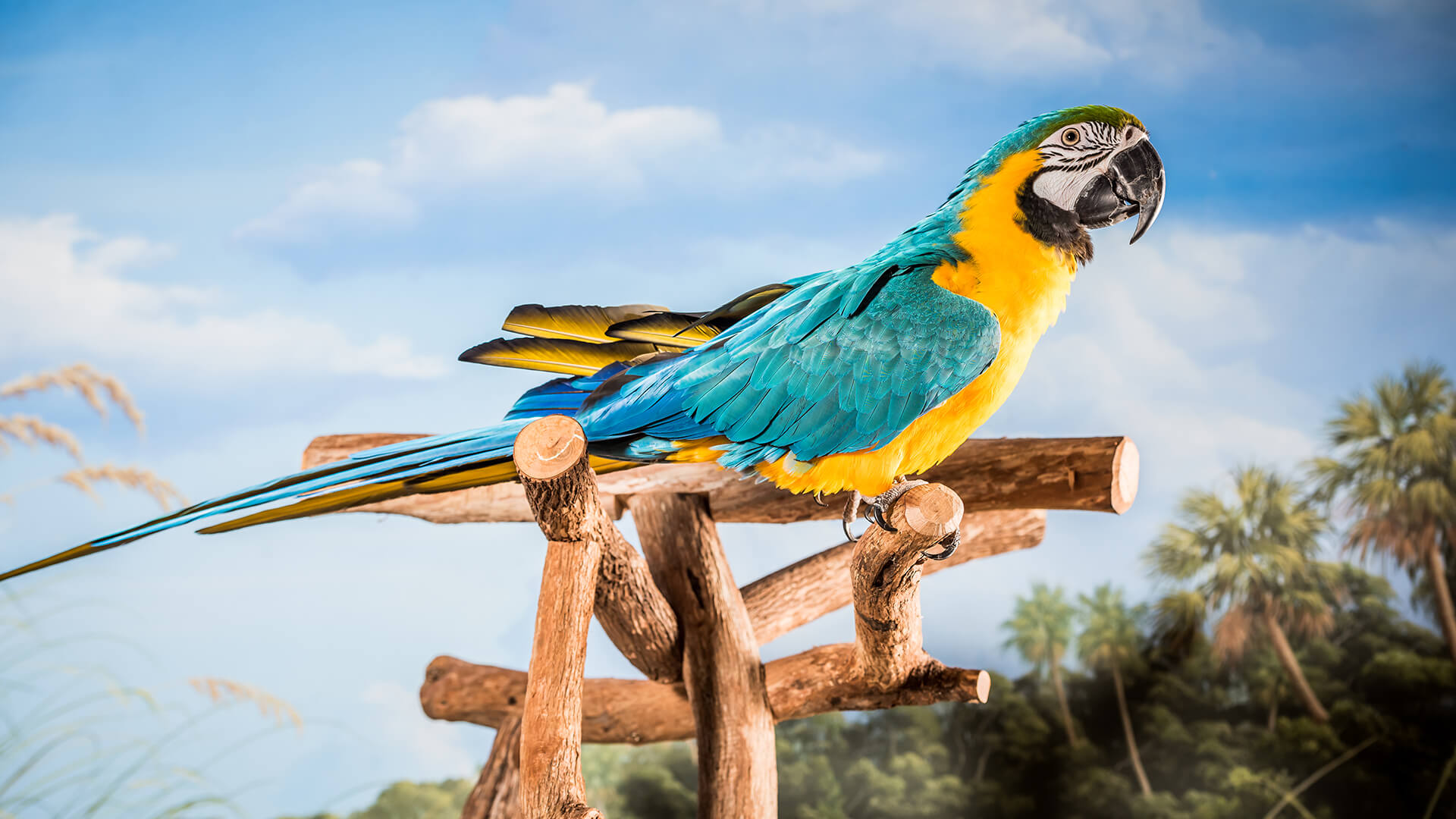 Image of Macaw named Captain on perch