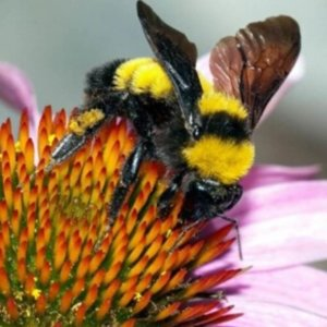 Bee identification-  American bumble bee
