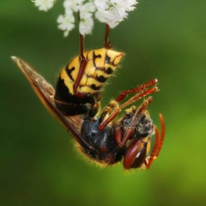 Bee identification- Sweat Bee