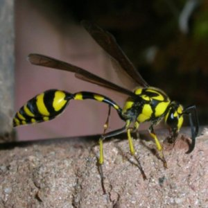 Bee identification- Mud Dauber Wasp