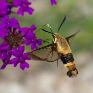 Bee identification- Snowberry Clearwing Moth