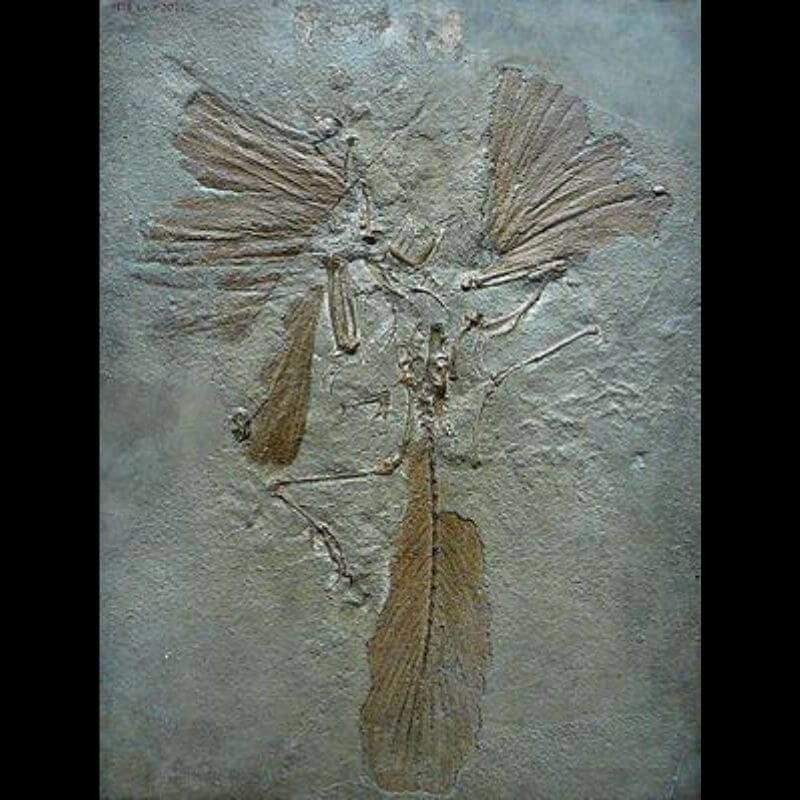 Archaeopteryx fossils are birds