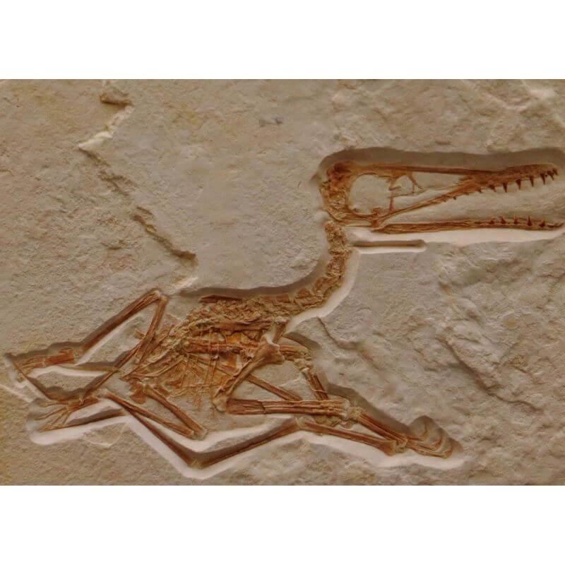 Pterodactyls dinosaur fossil