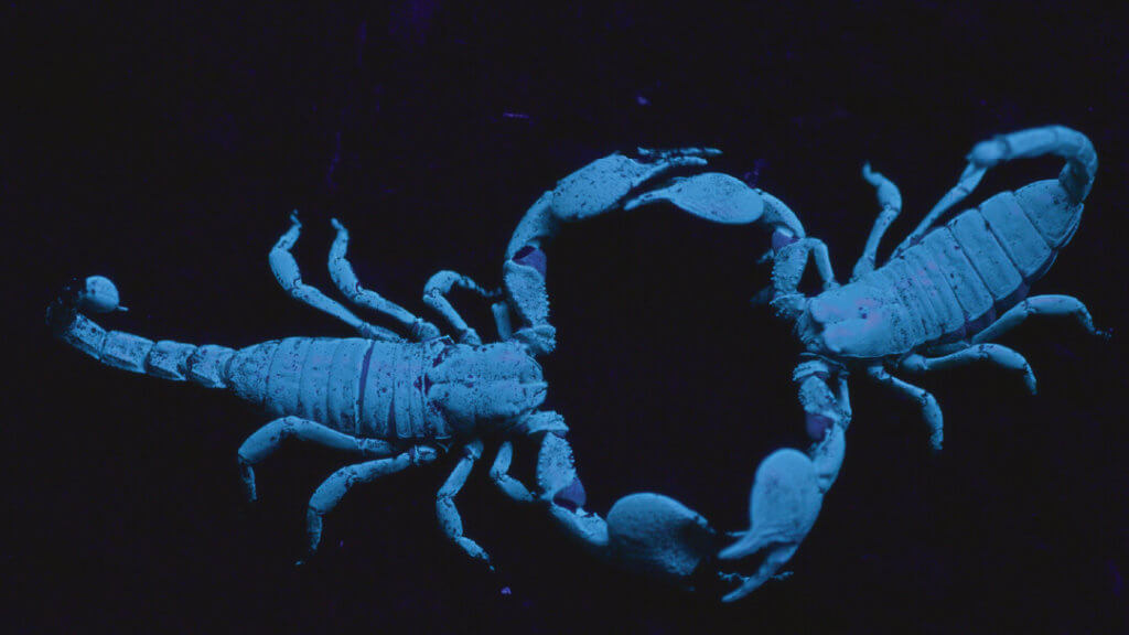Micro Monsters 2D - Two scorpions that glow in the dark face off against each other.