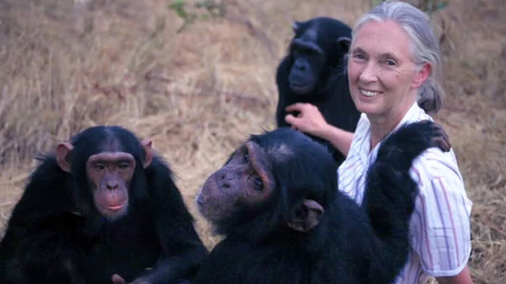 Jane Goodall's Wild Chimpanzees - photo of Jane with three chimpanzees
