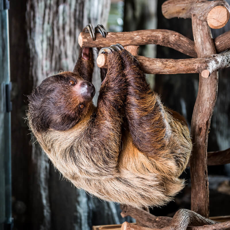 Image of two-toed sloth at Orlando Science Center.