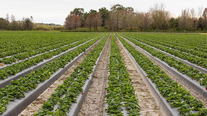 Food-Heroes-Strawberry-Field