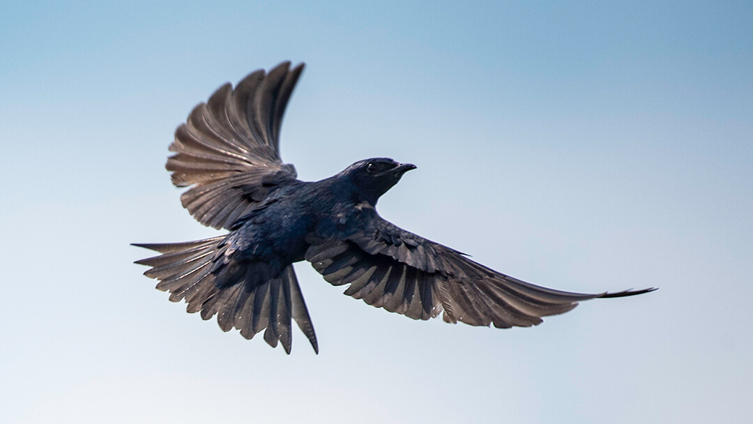 purple martin bird spreading its wings in flight
