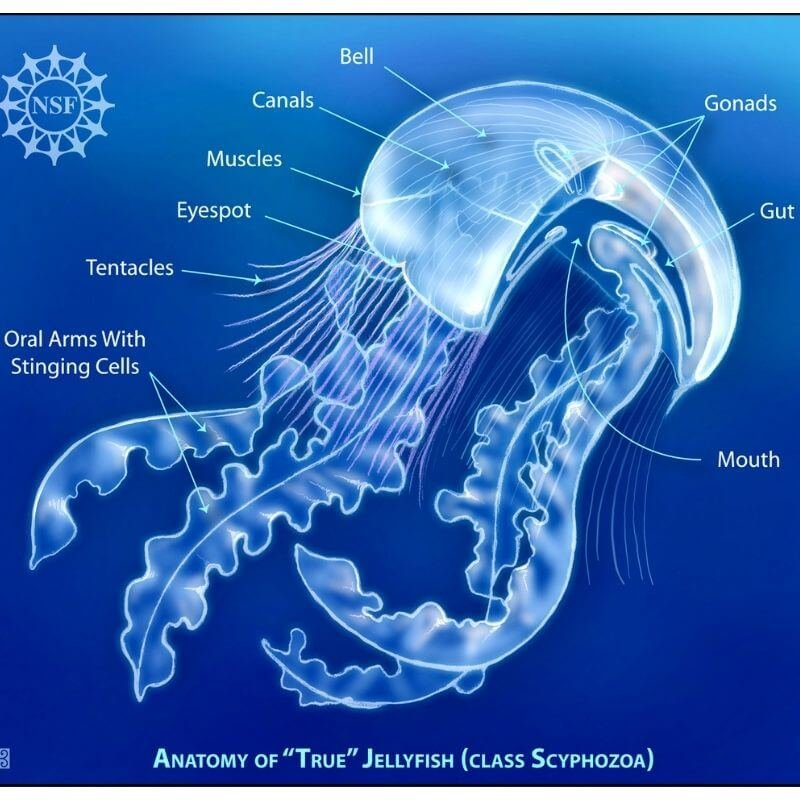 anatomy of a jellyfish