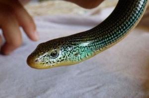 Legless lizard ear