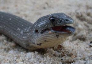 legless lizard jaw