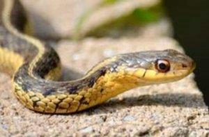 snake ear